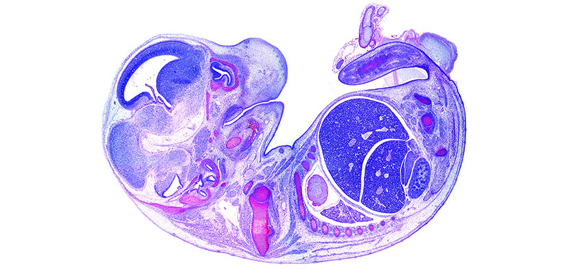 Mouse histology